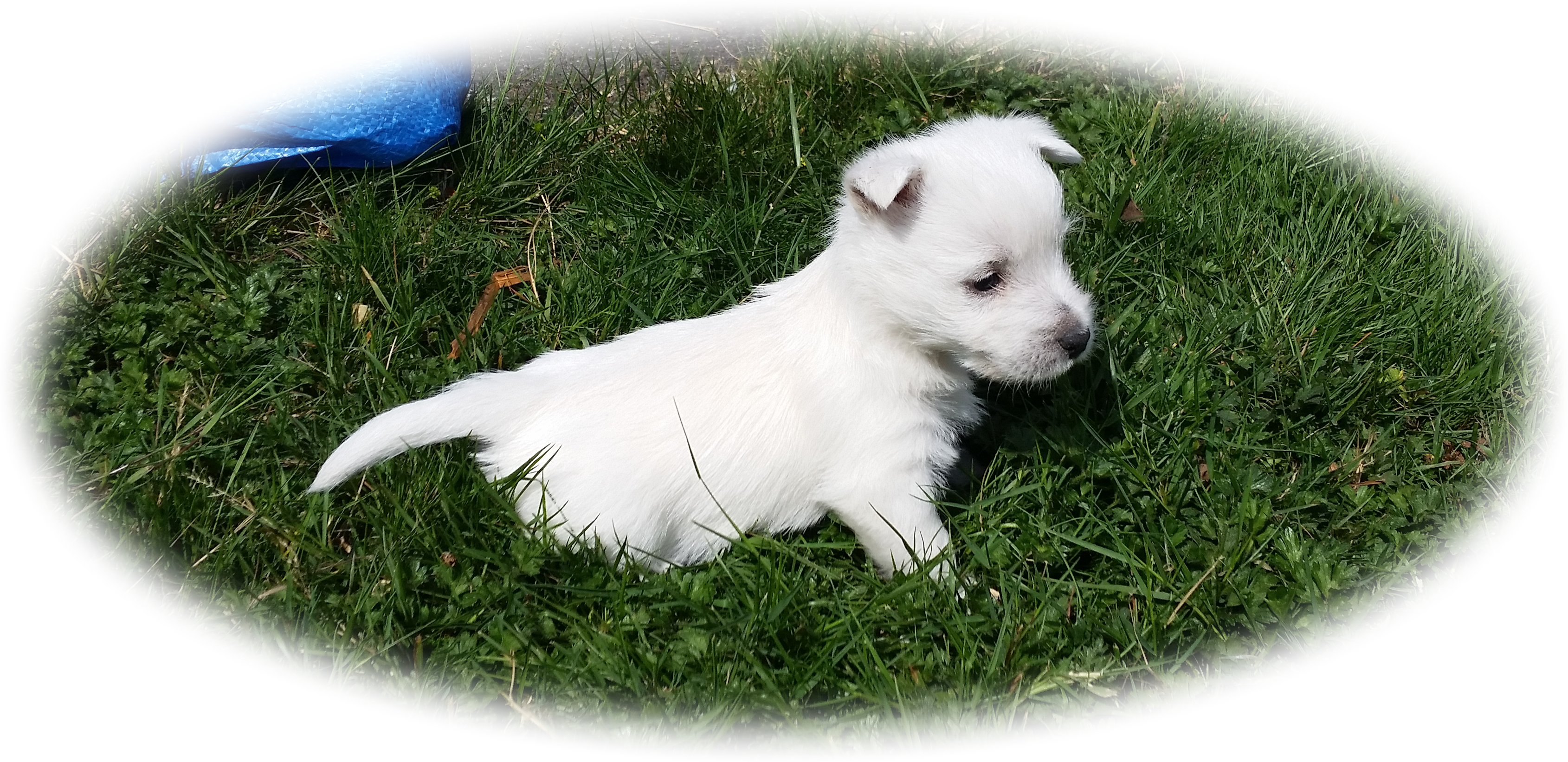 west highland white terrier puppy in the grass