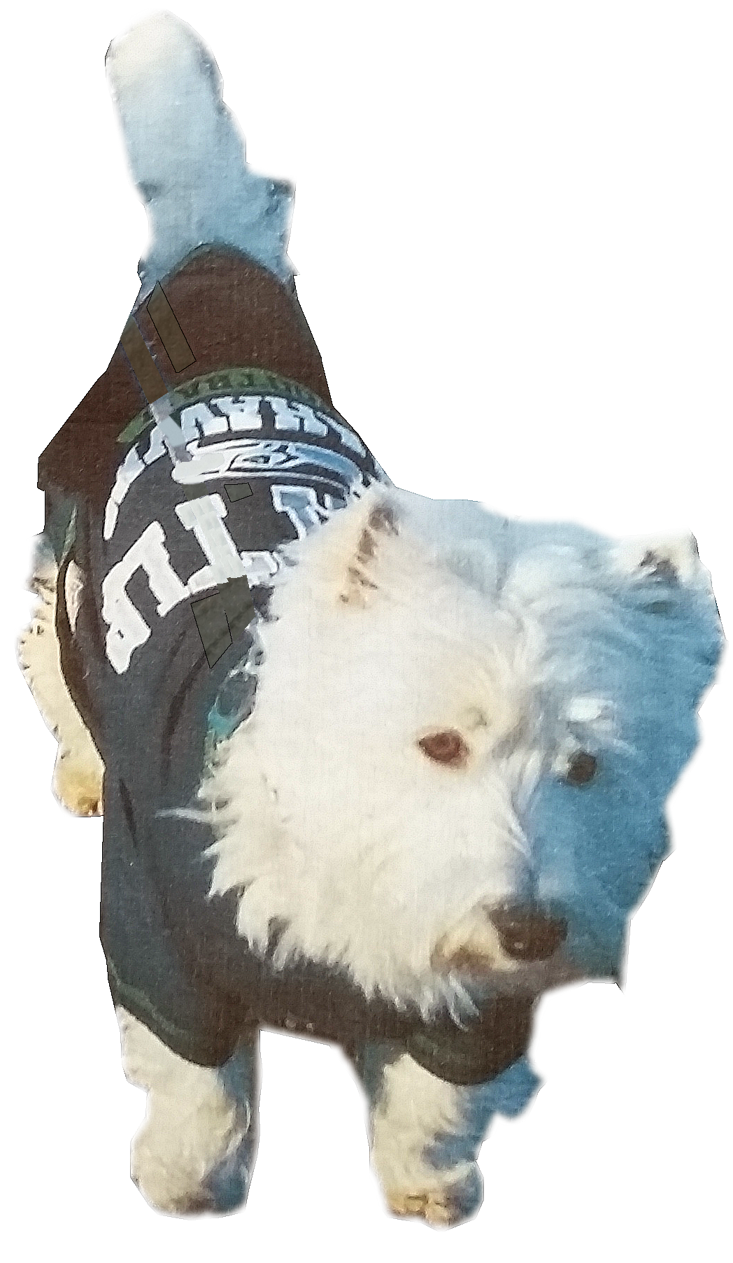 West Highland White Terrier wearing a Seahawks Shirt