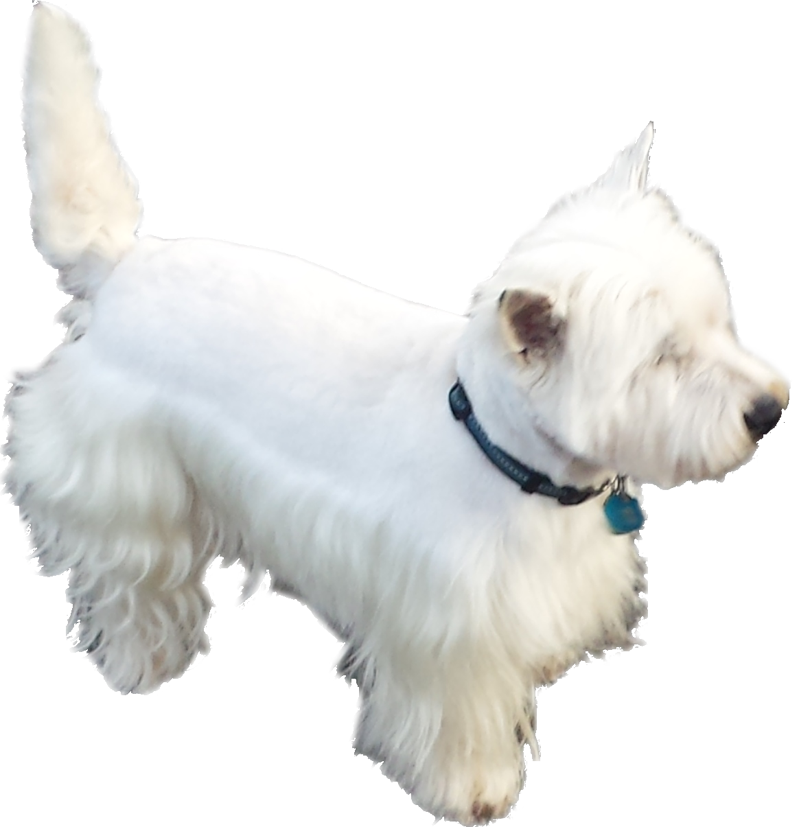 West Highland White Terrier no background