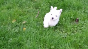 West Highland White Terrier running in grass