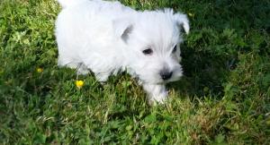 Westie in grass