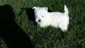 cute west hgihland white terrier puppy