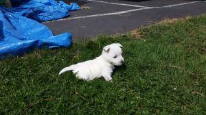small Westie puppy